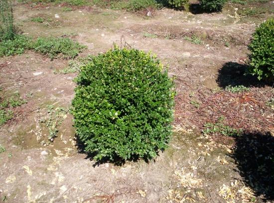 Buxus Sempervirens a palla