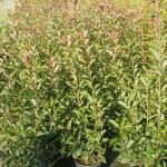 Photynia x Fraseri Red Robin