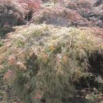 Acer Dissectum Atroporpureum