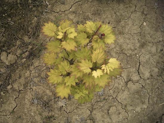 Acer Japonicum Shyrasawanum