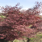 Acer Palmatum FG1