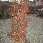 Carpynus Betulus