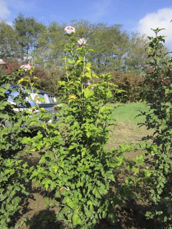 Hibiscus Syriacus di innesto