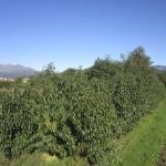 Prunus Persica in coltivazione