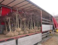 Carico Acer dissectum – Cornus