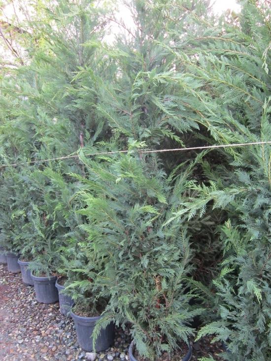 Cupressocyparis leylandii verde