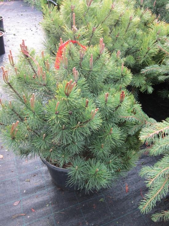 Pinus Mughus