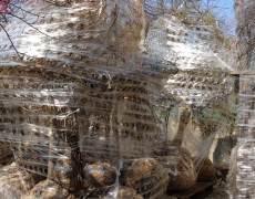 Fasciatuta bancali Acer dissectum