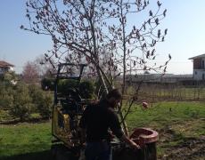Zollatura Magnolia